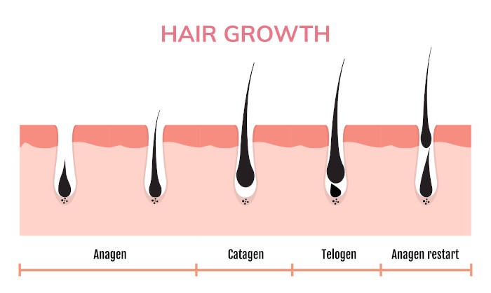 phases of hair growth diagram